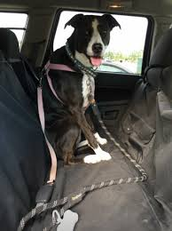 my dogs put molly mutt u0027s stylish new car seat cover to the test