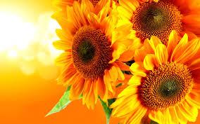 Gold Flowers Flower Sunflower Beautiful Nature Golden Sunflowers Flowers Gold