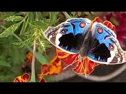 572 beautiful butterfly in my small garden urdu 20 11 17