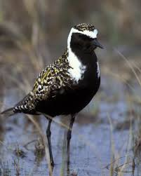 american golden plover audubon field guide