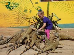 imágenes de iguanas verdes 3500 iguanas verdes como un tesoro en la isla de roatán diario roatan