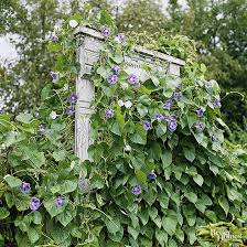 Trellis With Vines Trellises And Vine Supports You Can Build