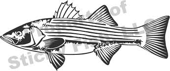 our striped bass decal has great detail and features show off