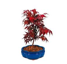the japanese maple from nursery tree wholesalers is a