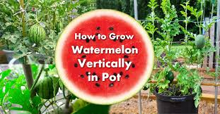 Growing Melons On A Trellis Growing Watermelon In Containers How To Grow Watermelon In Pot