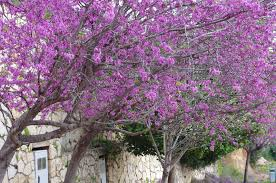 Names Of Purple by A Letter From Israel The Judas Tree Of Israel