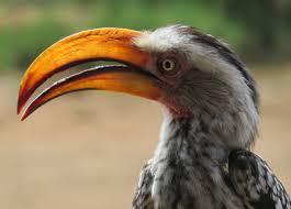 southern yellow billed hornbill tockus leucomelas hotspot birding