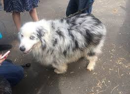 life with australian shepherd dog helps woman with dementia survive in the wilderness this