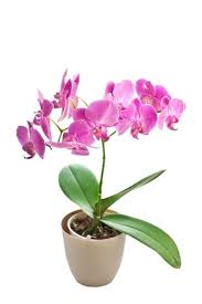 orchid plant pink orchid plant italian flora