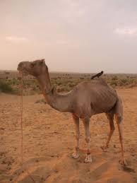 sleeping under the stars in the thar desert on camel safari jaisalmer