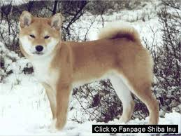 american eskimo dog in heat how long does a shiba inu stay in heat youtube