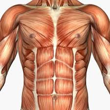 Human Body Chest Anatomy Chest Muscles Diagram Human Anatomy Body