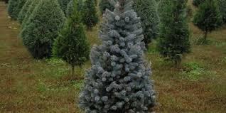 Helms Christmas Tree Farm - species helms christmas tree farm