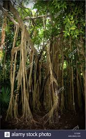 unique trees with root bases lie in the yucatan