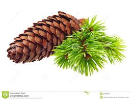 pine tree branch with cone stock images image 32900594