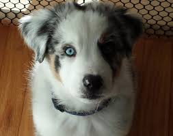 australian shepherd gray astro the australian shepherd puppy to youtube