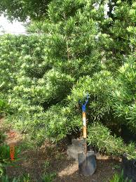 native tasmanian plants podocarpus u201cmaki u201d u2013 podocarpus costalis family podocarpacea