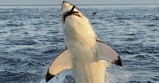 Great White Shark Attack Cape Cod - 10 savage truths about shark attacks listverse