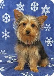 american eskimo dog for sale in kansas desi adopted puppy wichita ks yorkie yorkshire terrier