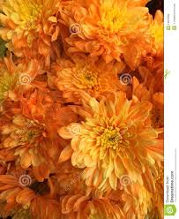 Light Orange Color by Malaysian Chrysanthemum Flowers Stock Photo Image 54873056
