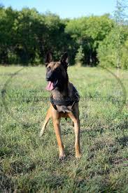 belgian malinois dog get belgian malinois leather harness