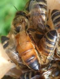 honeybee photos talking with bees