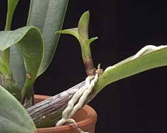 What Is An Orchid Flower - what is growing on the flower stem
