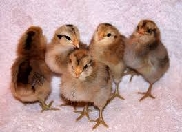 buy easter egger chickens learn the 3 a s of the easter egger chicken hobby farms