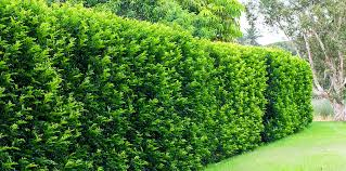 Flowering Privacy Shrubs - fast growing plants for privacy hedges