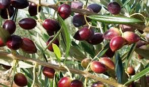 tree koroneiki variety