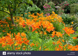 flowers in garden images tiger lily flowers in garden stock photo royalty free image