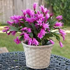 buy cactus pink plants garden goods direct
