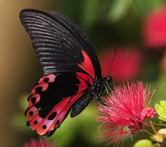 butterfly flower flowers and butterflies animal black butterfly flowers