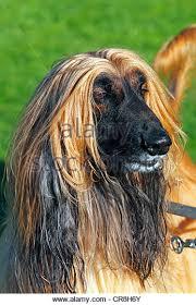 afghan hound underwater hound photos stock photos u0026 hound photos stock images alamy