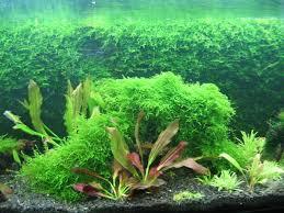 Aquascape Moss Aquaticquotient Com