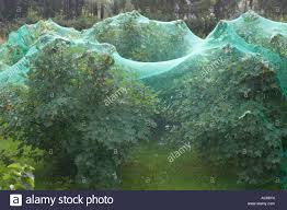 Fruit Tree Netting Red And Black Currant Bushes Under Green Bird Netting In Order To