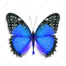 beautiful blue butterfly colourful butterfly stock photo picture