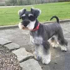 schnauzers hair cuts omg what an adorable mini schnauzer puppy that is perfectly