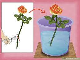 Putting Roses In A Vase How To Cut Roses 13 Steps With Pictures Wikihow