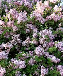 korean lilac tree form standard