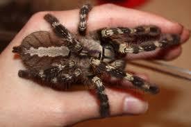 indian ornamental tarantula p regalis photography board