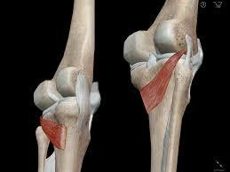 3d Knee Anatomy Learn Muscle Anatomy Popliteus