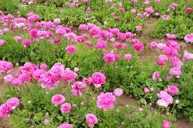 carlsbad flower garden the flower fields carlsbad ca
