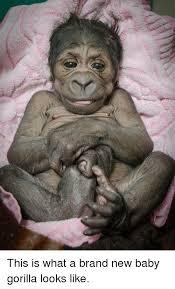 Gorilla Memes - 25 best memes about baby gorilla baby gorilla memes