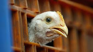 what is chlorinated chicken and should it be banned in the uk