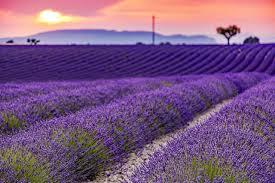 10 tips for growing lavender hgtv