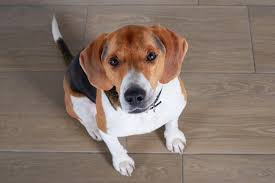 Dogs On Laminate Floors What Are The Best Hardwood Floors For Dogs Pet Friendly Flooring