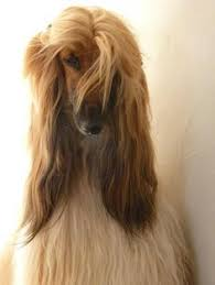 afghan hound in clothes so in love with domino u0027s afghan hounds pinterest afghan
