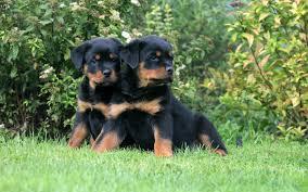 rottweiler puppies wallpaper 6849253