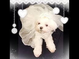 dog wedding dress dog wedding dress 1